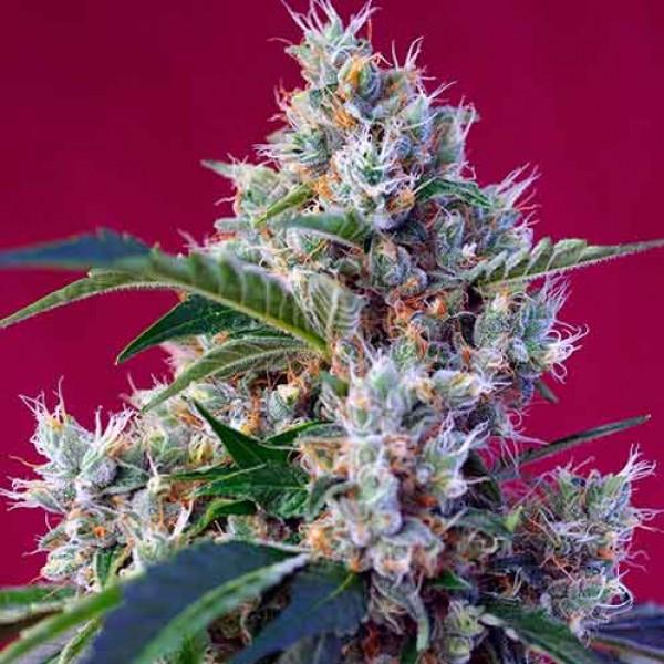Indigo Berry Kush - Sweet Seeds