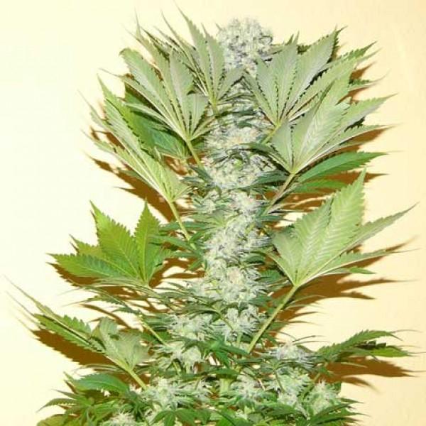Misty Kush Fem 5 Seeds - Nirvana