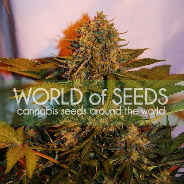 NORTHERN LIGHT X BIG BUD RYDER - World of Seeds