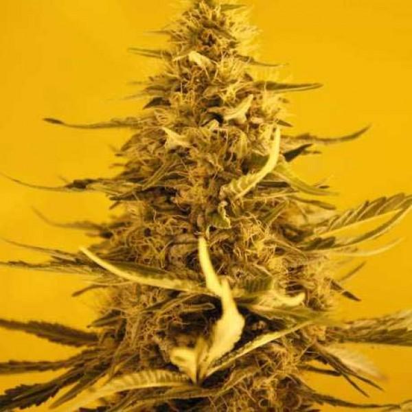 White Widow Auto 5 Seeds - Nirvana