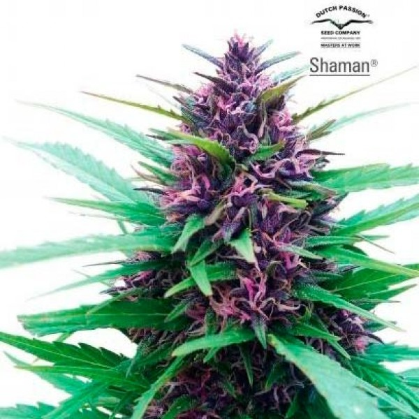 SHAMAN - Dutch Passion