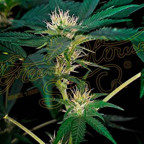 Super Lemon Haze x Purple Punch x Dosidos - 10 seeds - Green House