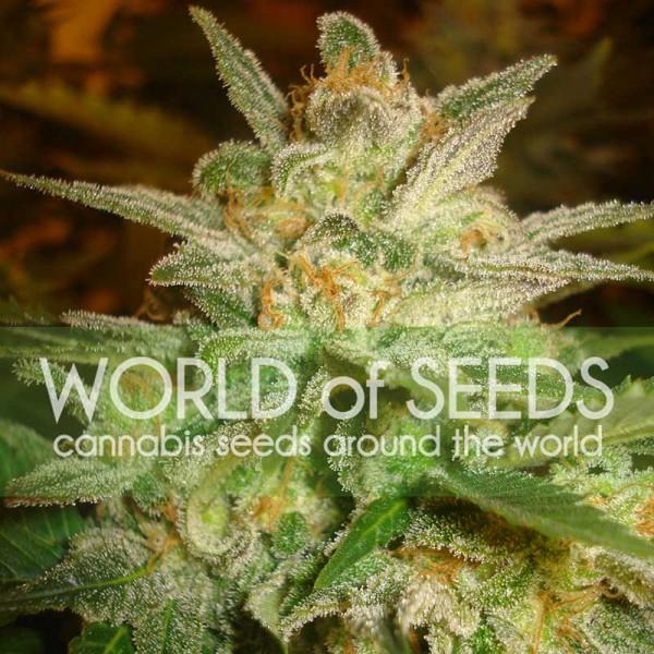 Star 47 - World of Seeds