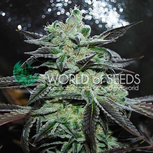 Strawberry Blue - World of Seeds