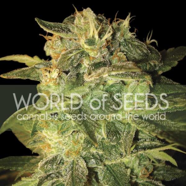 SUGAR MANGO RYDER  - World of Seeds
