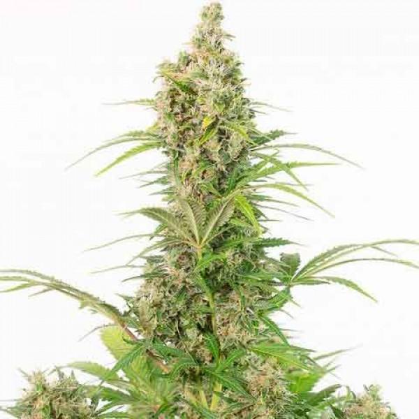 White Widow Autoflowering CBD - Dinafem
