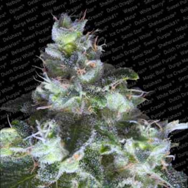 ORIGINAL WHITE WIDOW (IBL) - Paradise Seeds