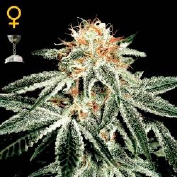 WHITE WIDOW - Green House