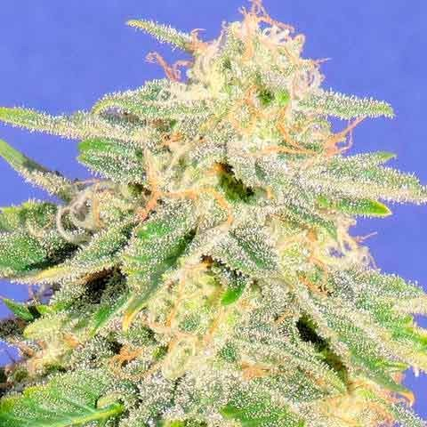 AUTO JACK HERER - Original Sensible