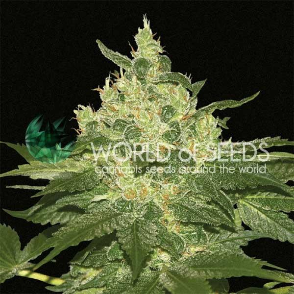 Afghan Kush Regular - 10 semillas - World of Seeds