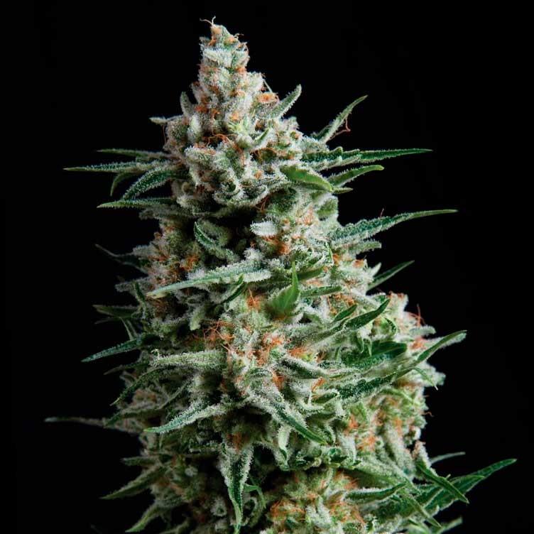 AUTO ANESTHESIA - Pyramid Seeds