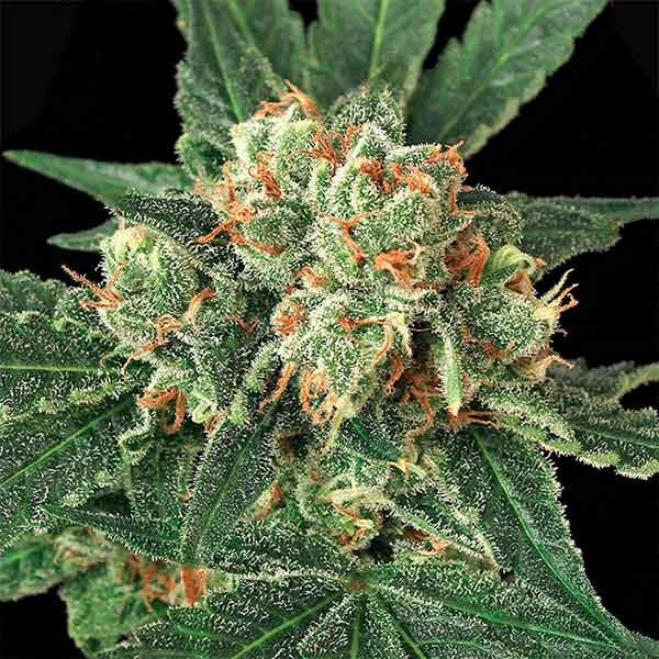 BLUE MONKEY - Exotic Seed