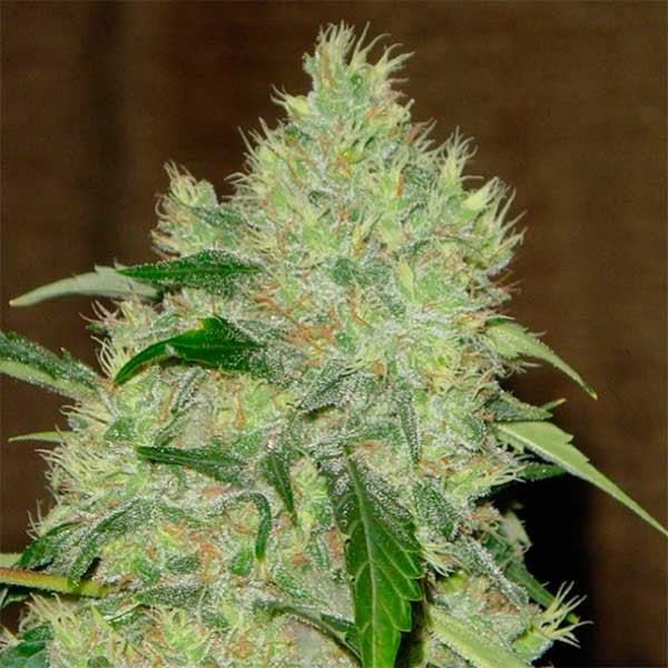 Bubble Gum - Serious Seeds
