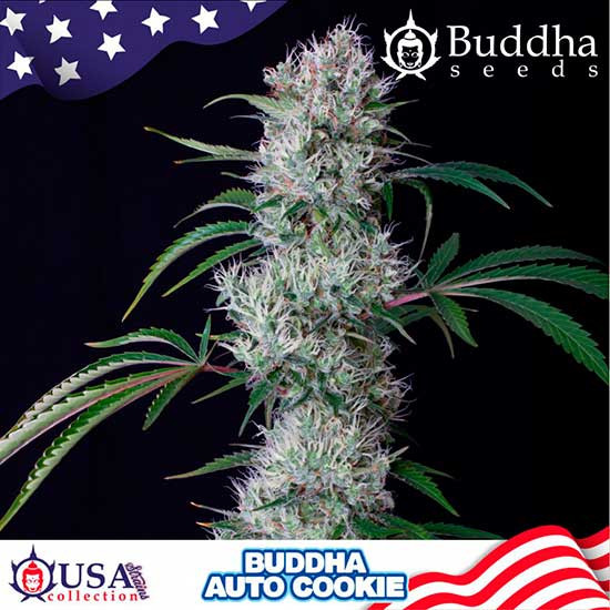 BUDDHA AUTO COOKIE - Buddha Seeds