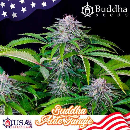 BUDDHA AUTO TANGIE - Buddha Seeds