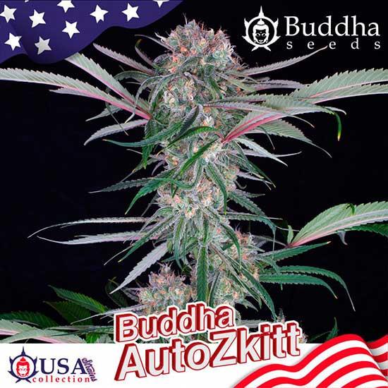 BUDDHA AUTO ZKITT - Buddha Seeds