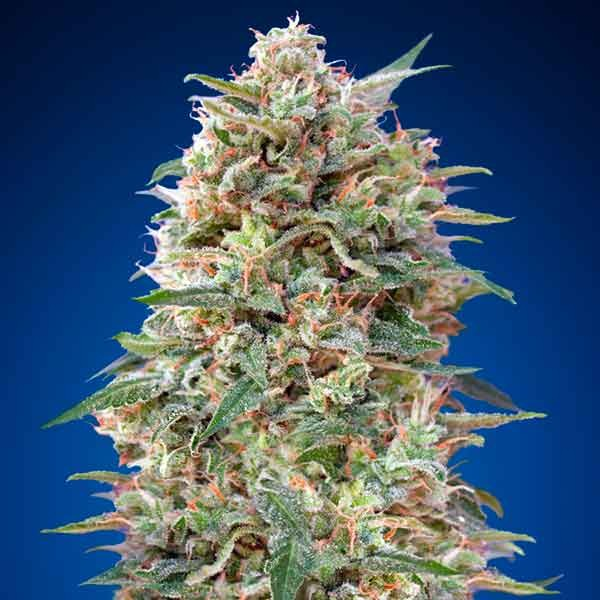 California Kush - 5 seeds - 00 Seeds