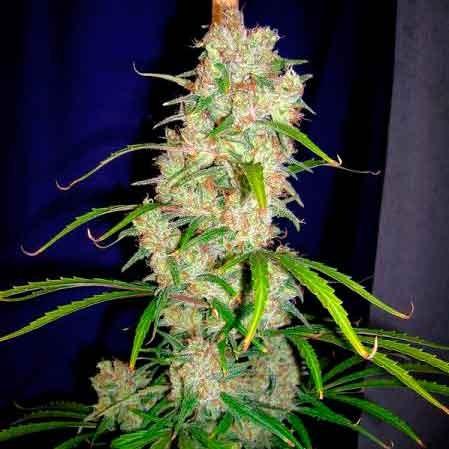 Destroyer  Regular – 10 seeds - Cannabiogen