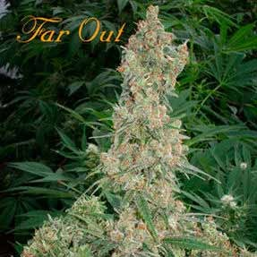 FAR OUT  - Mandala Seeds