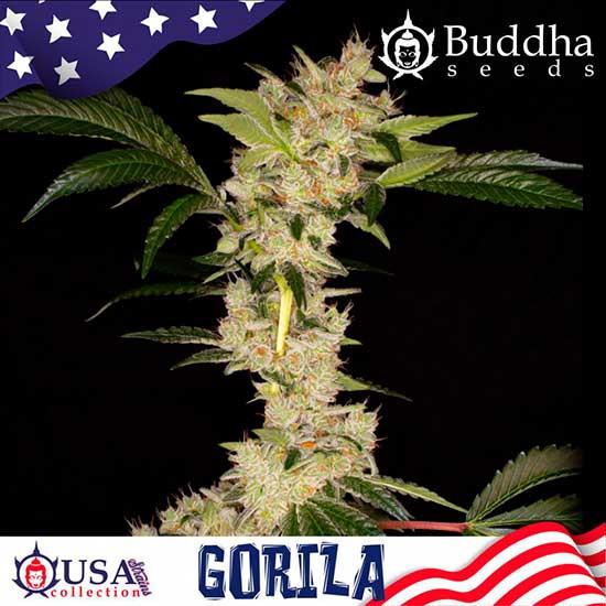 GORILA - Buddha Seeds