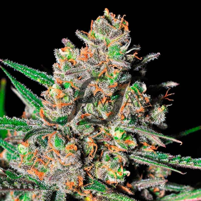 GREEN LOVE POTION  - Samsara Seeds