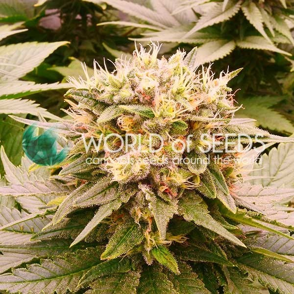 Harlequeen THC FREE - World of Seeds