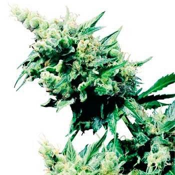 HASH PLANT REGULAR - Sensi Seeds