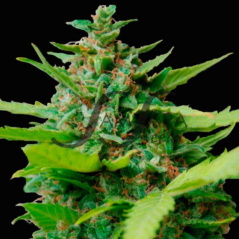 KISS DRAGON  - Samsara Seeds