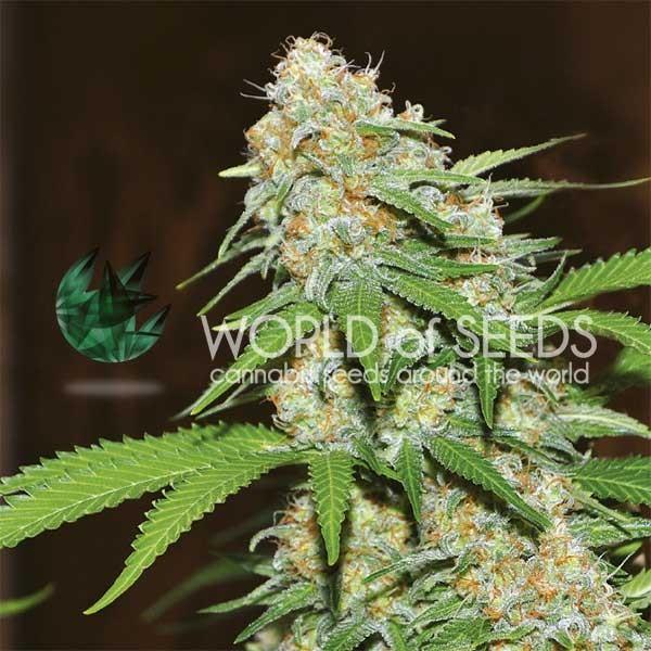 Mazar x White Rhino - World of Seeds