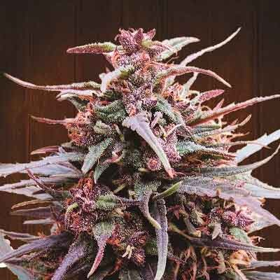 Purple Haze x Malawi Regular - 5 seeds - Ace Seeds