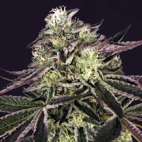 Purple Shot - Exotic Seed