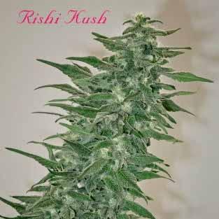 RISHI KUSH - REGULAR - 10 SEEDS - Mandala Seeds
