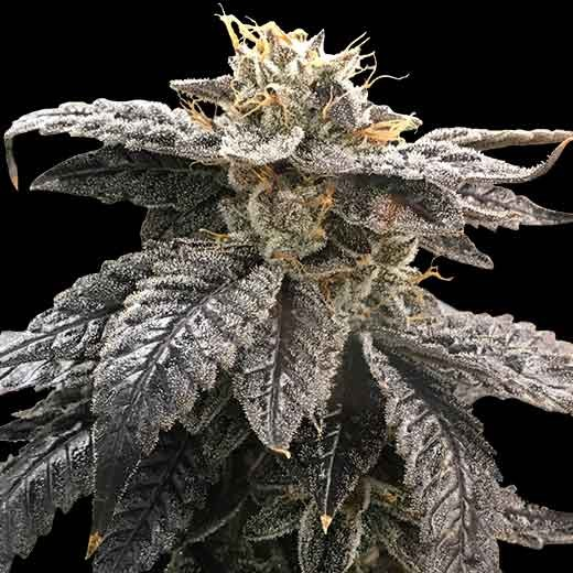 Star OX  - 12 Seeds - Rare Dankness