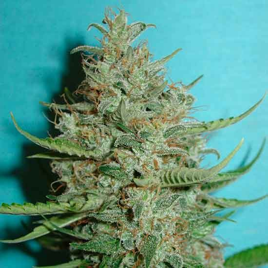 Super Crystal - 5 seeds - Fantaseeds