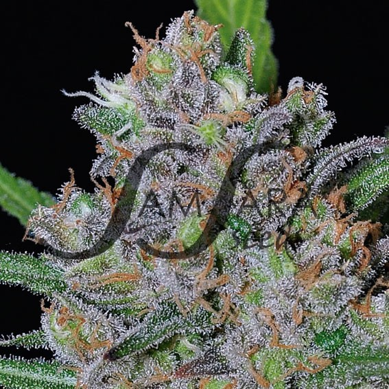 SWEET BLACK ANGEL - Samsara Seeds
