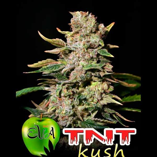 TNT KUSH - Eva Seeds