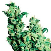 Achat WHITE LABEL JACK HERER REGULAR