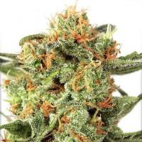 Achat Orange Hill Special Regular - 10 Seeds