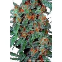 Achat Orange Bud