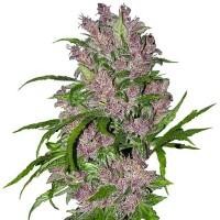 Achat Purple Bud Automatic