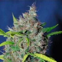 Achat  Strawberry D-Lite - 5 seeds