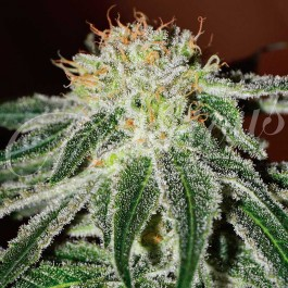 Black Russian - 3 seeds