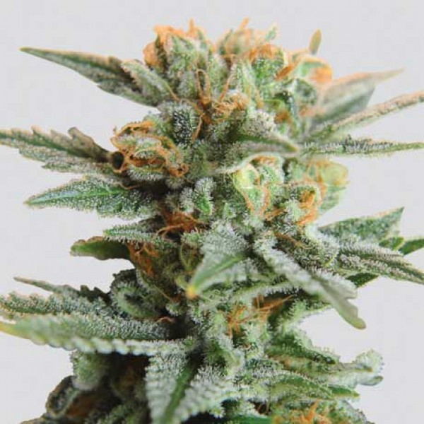 Blueberry Kush Auto 5 Seeds - Nirvana
