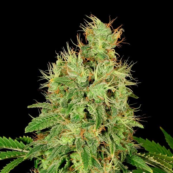 CBD-Chronic - Serious Seeds