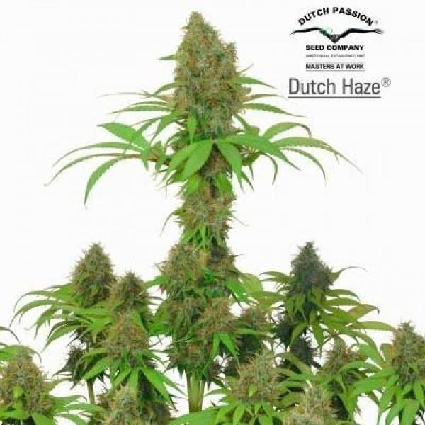 DUTCH HAZE - Dutch Passion