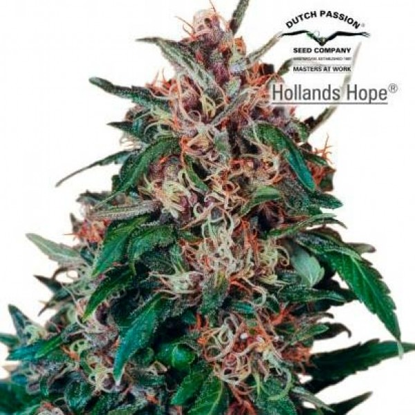 HOLLANDS HOPE REG - Dutch Passion