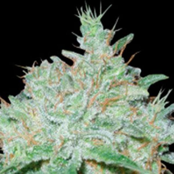 Lowboldt - 5 seeds - Sagarmatha