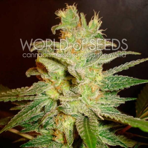 Northern Light x Big Bud - World of Seeds