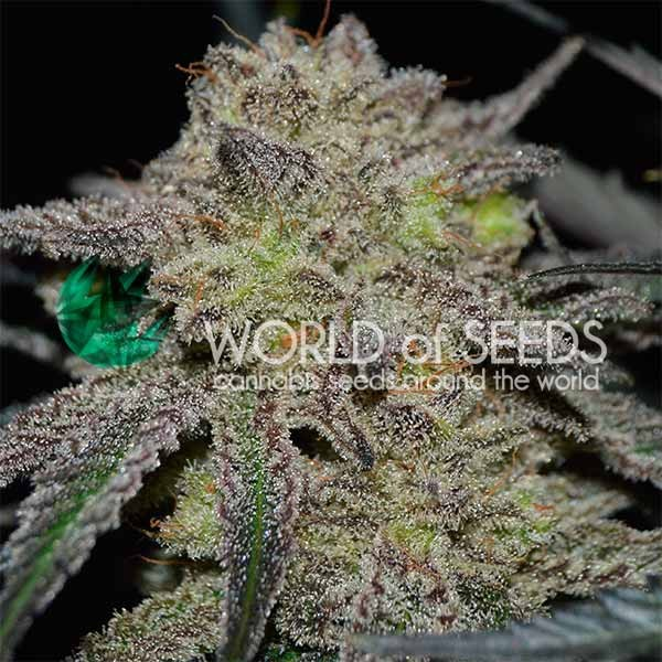 Tonic Ryder - World of Seeds
