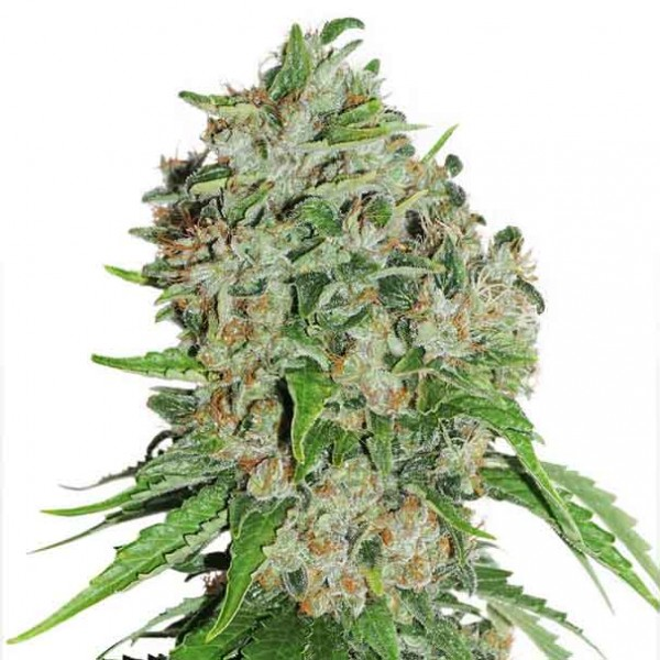 Outlaw Amnesia - Dutch Passion